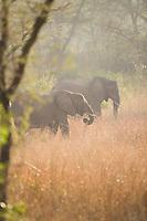 African Elephant, Queen Elizabeth National Park, Uganda, East Africa