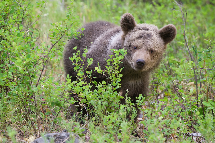 Grizzly bear cub standing amongst the underbrush - CA
