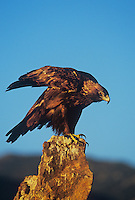 521090023 a captive golden eagle aquila chrysaetos a federally threatened species perches on a lichen covered rock and performs a wing stretch in central colorado united states