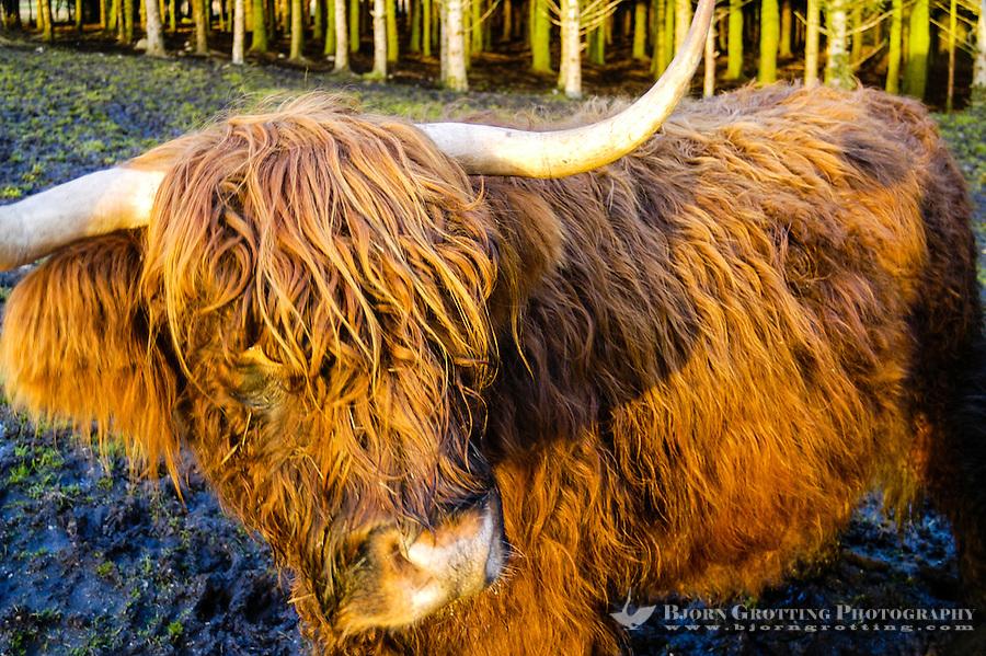 Norway, Klepp. Highland cattle.