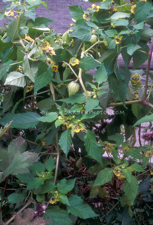 Tomatillos on plant with flowers, fruit, leaves, plant habit visible