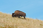 Male buffalo in the fields at the National Bison Range in Montana