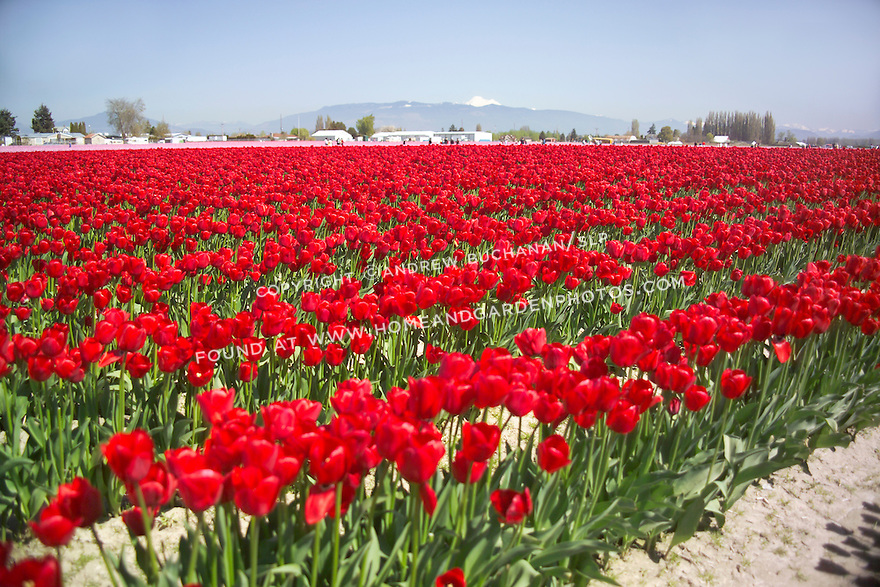 bright red flowers field - photo #23