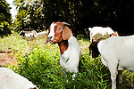 Goat Mowing | Wall Street Journal
