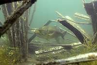 A Largemouth Bass Swims in the Maze of a Fish Hiding Artificial Fish Attractor