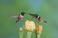 Black-chinned Hummingbird, Archilochus alexandri, male in flight feeding on Texas Prickly Pear Cactus (Opuntia lindheimeri), Uvalde County, Hill Country, Texas, USA