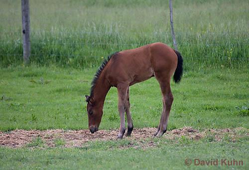 0510-0903  Dutch Warmblood Horse, Foal, Equus ferus caballus  © David Kuhn/Dwight Kuhn Photography