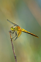 362700006 a wild juvenile male band-winged meadowhawk sympetrum semicintum perches on a dead stick along jean blanc canal north of bishop inyo county california united states