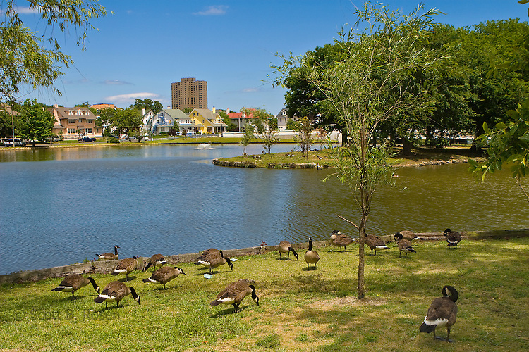 Geese feed on grass along Sunset Lake in Asbury Park, New Jersey