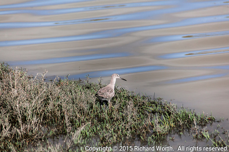 A Willet searches for food among the marsh grasses at the Hayward Marsh.