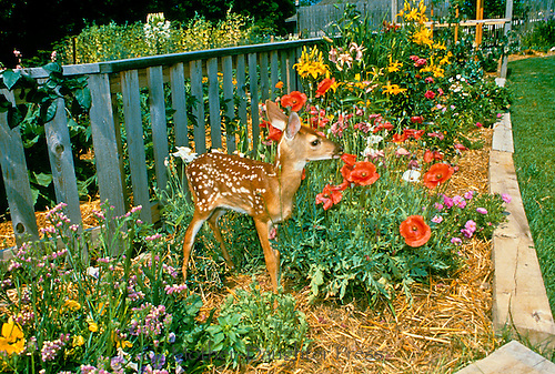 Fawn in flower garden eating poppies, Missouri USA
