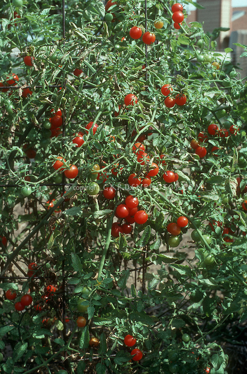 Cherry tomato Super Sweet 100 growing on plant