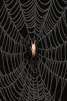 Ghost Spider (Anyphaenidae),  in dew covered Spiderweb, Sinton, Corpus Christi, Coastal Bend, Texas, USA
