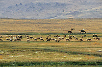 Flock of sheep grazing in a field near Arzou, Morocco.
