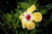 Yellow hibiscus flower in bloom with rain drops on petals, Tauono's Garden, Aitutaki Island, Cook Islands.