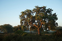 Cork trees (Quercus suber) and Wild Olive (Olea ueropaea var. sylvestris) with a rich abundance of natural underbush made up of Mastic (Pistacia lentiscus, Fillirea (Phyllirea angustifolia), strawberry tree (Arbutus uneda), Myrtle (Myrtus communis) and Bracken Fern (Pteridium aquilinum)<br /> These areas are some of the best examples of natural vegetation which have almost disappeared from the area.<br /> Do&ntilde;ana National &amp; Natural Park. Huelva Province, Andalusia. SPAIN<br /> 1969 - Set up as a National Park<br /> 1981 - Biosphere Reserve<br /> 1982 - Wetland of International Importance, Ramsar<br /> 1985 - Special Protection Area for Birds<br /> 1994 - World Heritage Site, UNESCO.<br /> The marshlands in particular are a very important area for the migration, breeding and wintering of European and African birds. It is also an area of old cultures, traditions and human uses - most of which are still in existance.