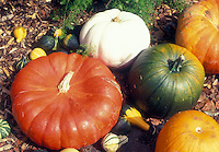 Types of pumpkins including heirloom Rouge d'Hiver Cinderella, white pumpkin 'Valenciano', pie pumpkins, green, gourds, on ground in fall