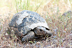 Spur-thighed Tortoise, Testudo graeca, Lesvos Island Greece, vunerable, IUCN Red List , lesbos