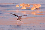 "Sandhill Crane ""Take a Bow"" Morning Theater Bosque del Apache Wildlife Refuge New Mexico"