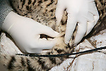 Taking Hair Sample From Geoffroy's Cat