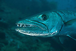 Solitary Great barracuda (Sphyraena barracuda) in the Liberty wreck.