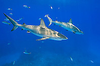 Caribbean Reef Sharks, Carcharhinus perezi, over coral reef, West End, Grand Bahamas, Atlantic Ocean