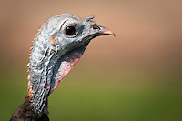 Close view of a wild turkey's head in profile