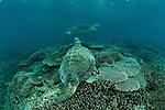 Male green sea turtle (Chelonia mydas) in the reef.