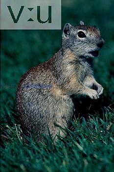 A Belding Ground Squirrel.