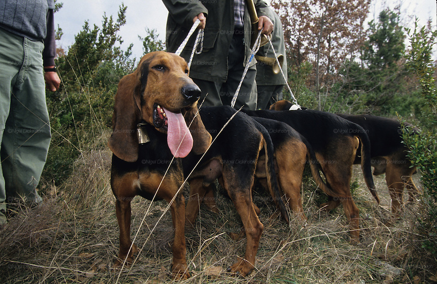 Wild boar hunting with dogs and hounds, chasses au sanglier, ardeche