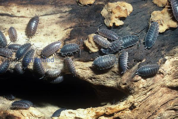 Sowbugs or Pillbugs, terrestrial isopod crustaceans. California, USA.