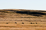 Several cattle graze on the dry October grass in the rolling hills of Nebraska's Sandhills region.