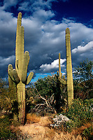 "CACTUS - SAGUARO.Carnegiea Gigantea.The Saguaro is the state flower of Arizona and is composed of tall, thick, fluted columnar stem, 18 to 24 inches in diameter with several large branches (arms) curving upward.  The Saguaro grows an 1"" a year and lives about 200 years."