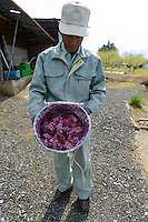 A farmer holds just harvested yaezakura cherry blossom, Matsukawa-city, Nagano Prefecture, Japan, April 26, 2013. Farmers in the Matsukawa area of Nagano prefecture grow yaezakura cherry blossom to be used as an ingredient in Japanese cakes, sweets and other foods.