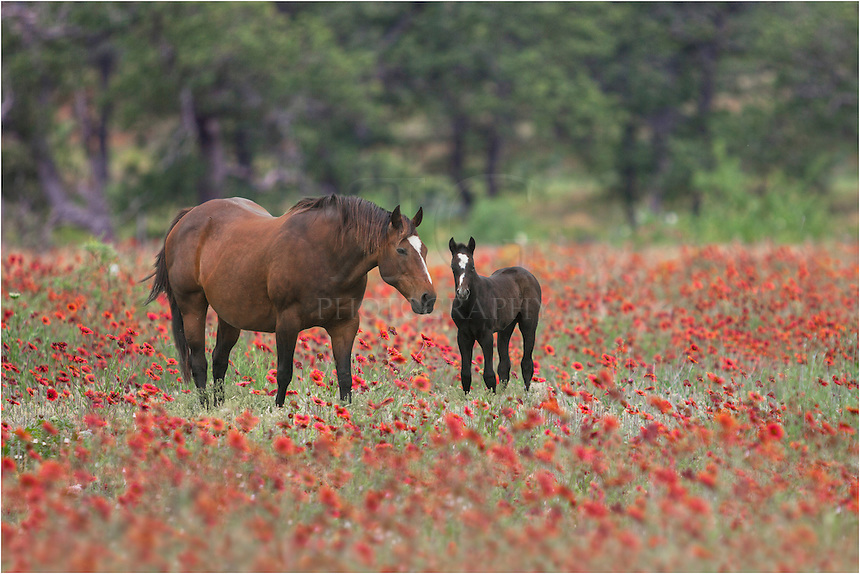 Texas Wildflowers - Images of Horses in Texas Hill Country ...