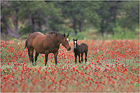 As I drove the backroads of the Texas Hill Country in search of wildflowers, I paused to capture this photo of two horses in a field of Indian Blankets. They were a distance away, so used a telephoto lens to zoom in.