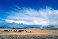 Herd of Free Roaming Wild Horses running free on Ranchland at Douglas Lake Ranch near Quilchena, Thompson Okanagan Region, BC, British Columbia, Canada