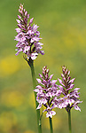 Common spotted orchid Dactylorhiza fuchsii pink lilac .United Kingdom....