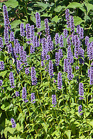 Agastache 'Black Adder' blue flowered perennial plumes, spiky upright plant