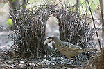 A great bowerbird works on his bower to attract a female to it, Mornington Sanctuary, Western Australia.