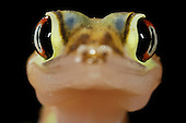 Close up of the head of a Web-footed Gecko (Palmatogecko rangei), Namib Desert, Namibia.
