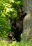 Black Bears and Divers