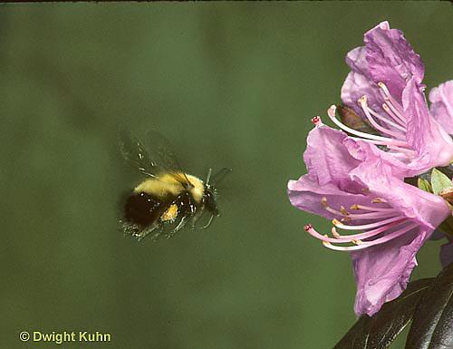 BU38-023z  Bumblebee -  flying to flower - Bombus perplexus