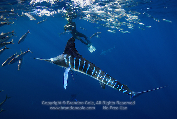 qf0972-D. Striped Marlin (Tetrapturus audax), feeding on Pacific Sardines (Sardinops sagax). Baja, Mexico, Pacific Ocean..Photo Copyright © Brandon Cole. All rights reserved worldwide.  www.brandoncole.com..This photo is NOT free. It is NOT in the public domain. This photo is a Copyrighted Work, registered with the US Copyright Office. .Rights to reproduction of photograph granted only upon payment in full of agreed upon licensing fee. Any use of this photo prior to such payment is an infringement of copyright and punishable by fines up to  $150,000 USD...Brandon Cole.MARINE PHOTOGRAPHY.http://www.brandoncole.com.email: brandoncole@msn.com.4917 N. Boeing Rd..Spokane Valley, WA  99206  USA.tel: 509-535-3489