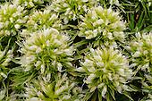 Echium leucophaeum, Tenerife, Canary Islands