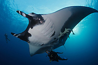 QT2558-D. Manta Ray (Manta birostris) interacts with scuba diver (model released). Note two large remoras on manta. Baja, Mexico, Pacific Ocean.<br /> Photo Copyright &copy; Brandon Cole. All rights reserved worldwide.  www.brandoncole.com