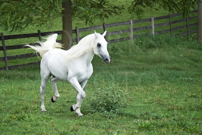 Arabian stallion running in summer field with mane and tail flying.