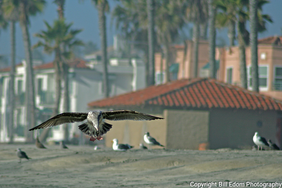 A Seagull lands on the beach in Oceanside, California.