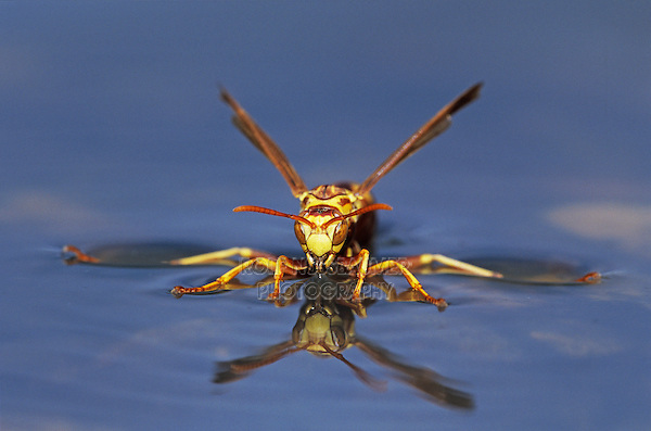 Paper Wasp, Polistes sp., wasp drinking from water surface, Welder Wildlife Refuge, Sinton, Texas, USA