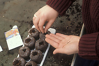 Seed starting for garden plants, using individual pots for planting seeds, showing person woman's hands working